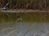 a-green-backed-heron-fishing-in-a-coastal-wetland