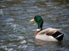 a-male-mallard-duck