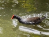 common-moorhen
