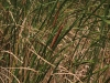 typha-domingensis-vounn
