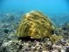 massive-coral
