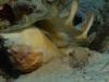 spider-conch-copyright-eugene-vitry