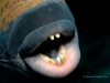 the-titan-triggerfish-showing-its-teeth-copyright-eugene-vitry