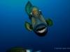 titan-triggerfish-copyright-eugene-vitry