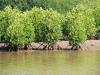 mangrove-trees