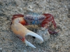 the-fiddler-crab-displaying-its-claw-and-beautiful-colors