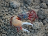 the-fiddler-crab-with-its-big-claw