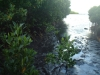 threats-to-mangroves-an-oil-spill-from-a-local-factory-here