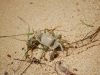 ghost-crab