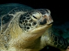 a-green-turtle